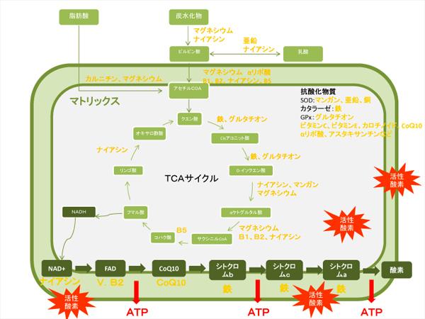ミトコンドリア内のTCAサイクルと電子伝達系の図